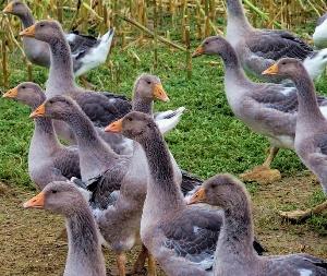 Бизнес-план: Разведение гусей в домашних условиях